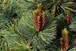 Japanese White Pine (Pinus parviflora)